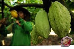 Mukomuko Konsultasikan Pergantian Kakao Jadi Sawit