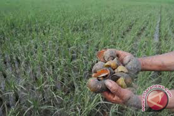 Distan Mukomuko bantu atasi keong mas yang serang padi petani