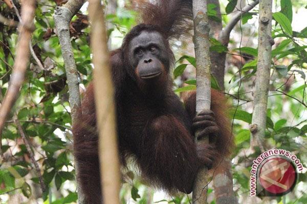BKSDA-YIARI kembalikan Orangutan ke hutan lindung Ketapang