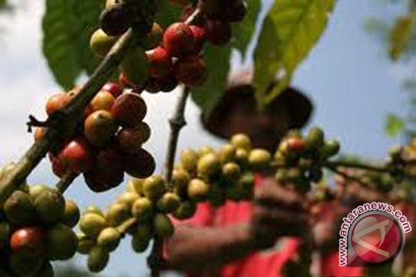 Harga biji kopi asalan stabil