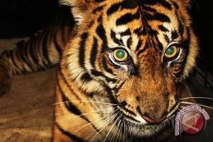 Populasi Harimau Sumatera Tersisa 17 Ekor