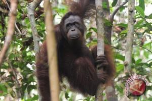 12 Orangutan dilepasliarkan di hari bumi