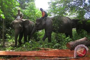 Walhi desak pengembalian gajah sumatra ke Bengkulu
