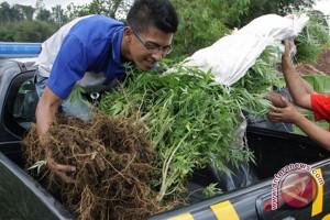 Polda Bengkulu temukan 5,5 hektare ladang ganja