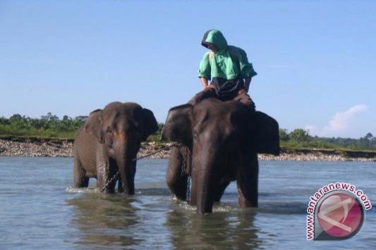 Gajah Di Bengkulu Berpotensi Kawin Sekerabat