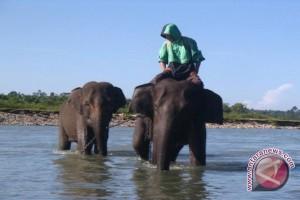 Akar Network: Habitat Gajah Sumatera Terus Menyusut