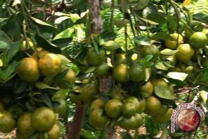 Lebong kembangkan jeruk Gerga