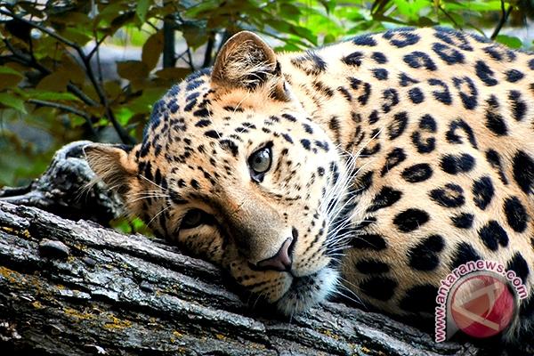 Macan tutul Jawa di Baluran 7-10 ekor