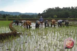Bengkulu dorong petani gunakan benih padi unggul