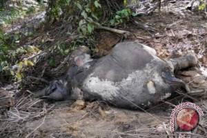 Dua Bangkai Gajah Ditemukan Di Hutan Bengkulu