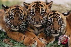 BKSDA: Semidang Bukit Kabu habitat harimau sumatera