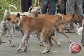 Populasi hewan rabies di Mukomuko 15.000 ekor