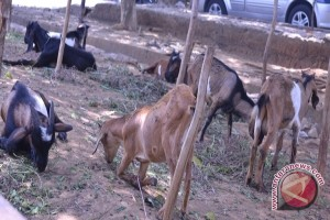 Rejang Lebong segera bagikan bantuan kambing