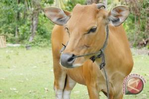 Pencuri gasak tiga sapi milik polisi Mukomuko
