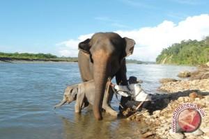 BKSDA: Tidak ada lagi pemindahan gajah Bengkulu