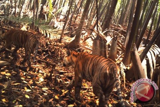 Tiga Harimau Sumatera turun ke jalan desa