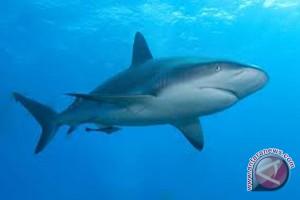 Lima Spesies Hiu Berjalan Ada Di Indonesia