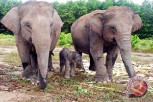 BKSDA Turunkan Dua Tim Cari Bangkai Gajah