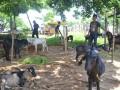 Pedagang kambing untuk hewan kurban mulai muncul seprti di Jalan Basuki Rahmat Kota Bengkulu. (foto/yan berlian)