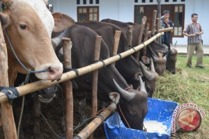 Spanyol Jajaki Investasi Peternakan Sapi Di Bengkulu