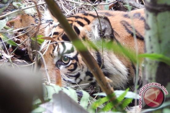 BKSDA turunkan tim ke lokasi munculnya harimau