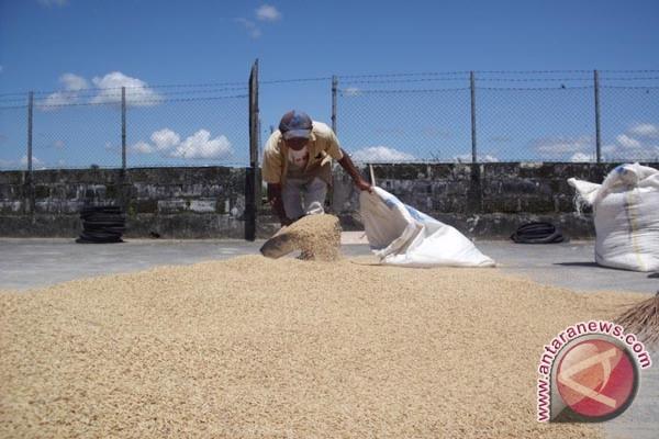 Produksi gabah Mukomuko capai 10-11 ton