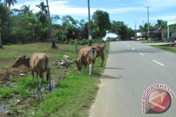 Mukomuko Tertibkan Puluhan Hewan Ternak Yang Dilepasliarkan