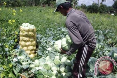 Kemarau akibatkan sayuran banyak terserang penyakit