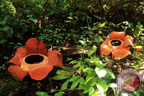 21 Bunga Rafflesia Tumbuh Di Hutan Meninjau