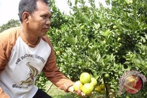Warga Curup Tengah budidayakan tanaman jeruk brastagi