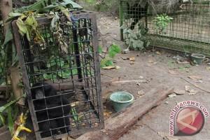 BKSDA Lepasliarkan Lima Siamang Ke Taman Buru