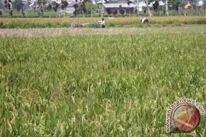 Puluhan hektare sawah petani Rejanglebong diserang tungro