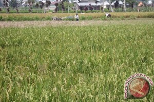 Mukomuko siapkan insektisida untuk basmi hama padi