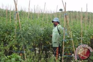 Harga tomat di Kabupaten Rejanglebong naik drastis