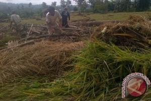 Belasan hektare padi siap panen terendam banjir