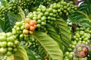 Petani kopi Bengkulu lirik pasar alternatif