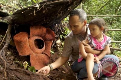 Bunga Rafflesia di Bengkulu Tengah ini memikat warga