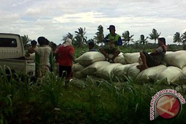 Produksi gabah petani Mukomuko turun 55 persen