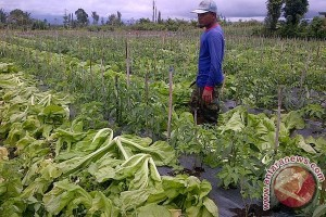 Petani Rejang Lebong berharap harga sayuran stabil