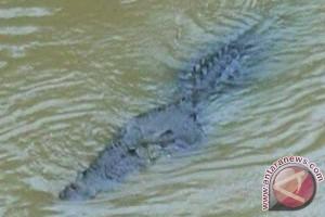 Warga minta BKSDA tangkap buaya Sungai Kiang