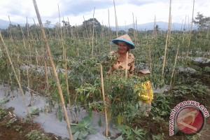 Petani Keluhkan Tingginya Selisih Harga Jual Cabai