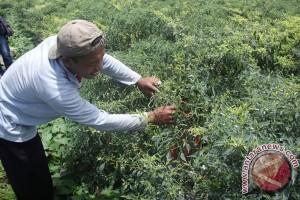 Petani Keluhkan Rendahnya Harga Jual Cabai Merah