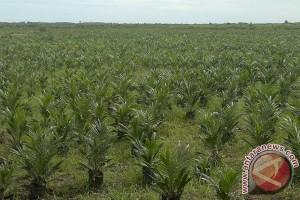 Belasan Hektare Karet Di Mukomuko Jadi Sawit