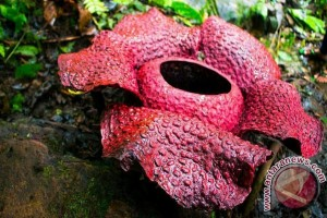 Wah, Pengunjung Kecewa Bunga Langka Rafflesia Dilapisi Cat