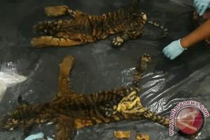 Polisi Mukomuko Tangkap Tiga Pedagang Kulit Harimau