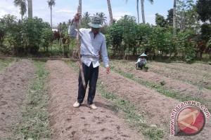 Petani Talang Benih Beralih Tanam Sayuran