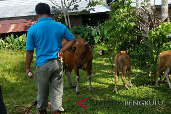 Mukomuko gulirkan puluhan sapi bantuan pemerintah
