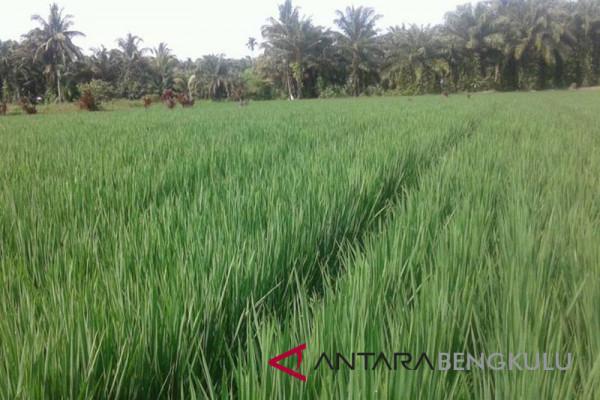 Penyakit blas serang tanaman padi petani Mukomuko