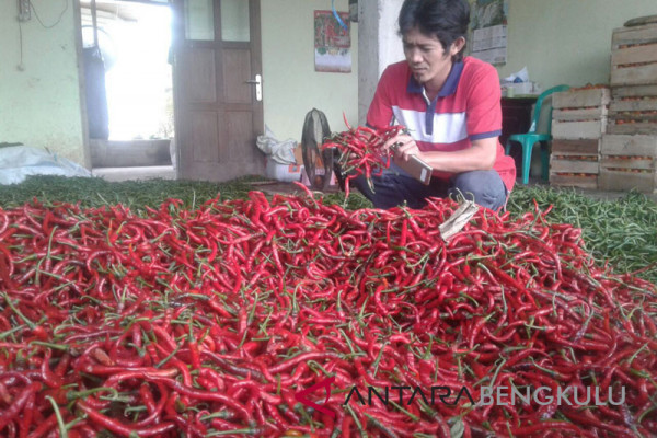 Harga cabai merah di Mukomuko naik