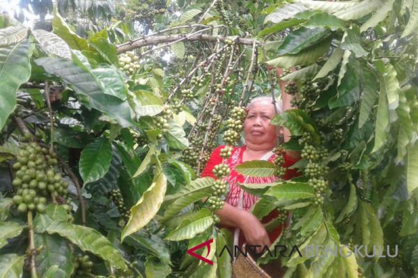 Petani keluhkan harga kopi turun saat panen